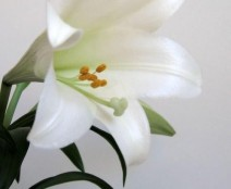 easter-lily